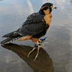 eaglet1